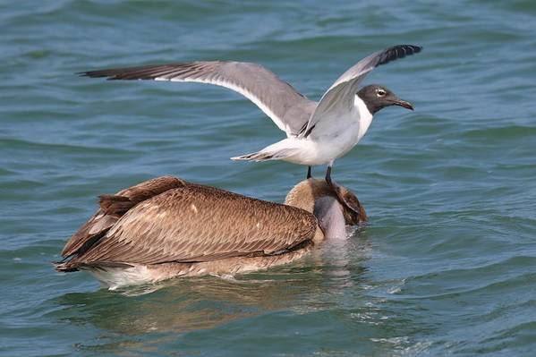 Brown Pelican Art Print featuring the photograph Heads Up by Christy Pooschke
