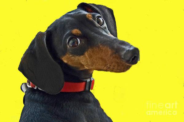 Dog Art Print featuring the photograph Headshot Of Dacshund by Allan Einhorn