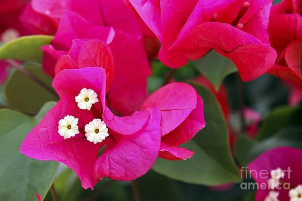 Flower Art Print featuring the photograph Hot Pink Bougainvillea by Teresa Zieba