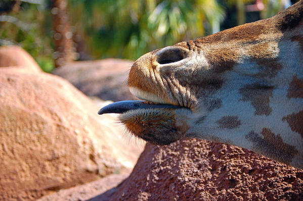Giraffe Art Print featuring the photograph How About A Kiss by Donna Proctor
