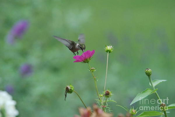 Humming Bird Art Print featuring the photograph Humming Bird On A Cosmo by David Murray