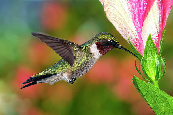 Horizontal Art Print featuring the photograph Hummingbird Feeding On Hibiscus by DansPhotoArt on flickr