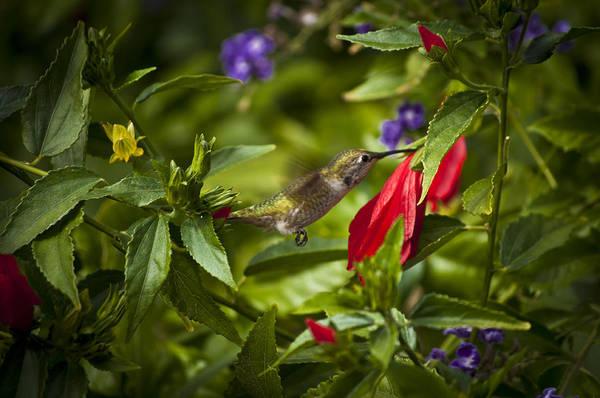 Art Print featuring the photograph Hummingbird by Sarah Sage