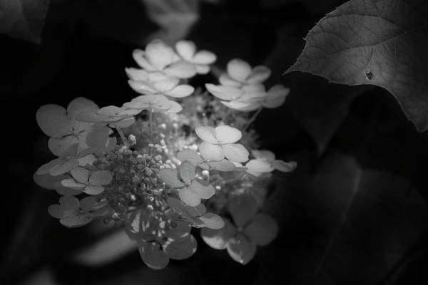 Hydrangea Art Print featuring the photograph Hydrangea In Black And White by Chrystal Mimbs