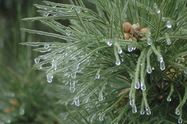 Nature Art Print featuring the photograph Iced Pine by Kathy Schumann