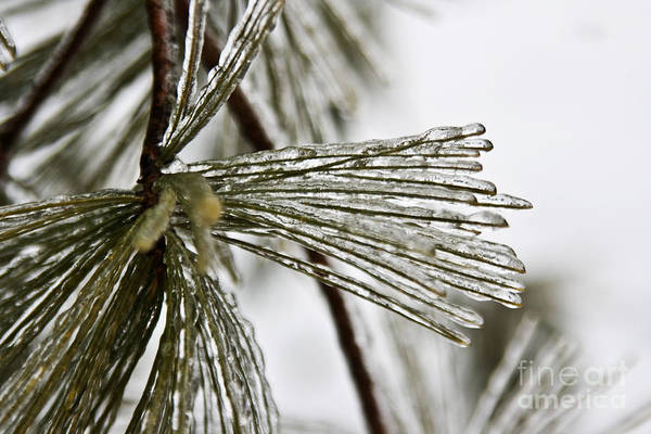 Nature Art Print featuring the photograph Icy Pines by Robin Lynne Schwind