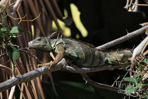 Iguana Art Print featuring the photograph Iguana by Edward R Wisell