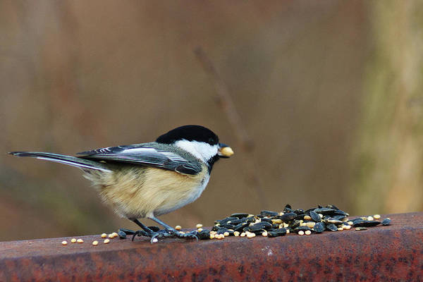 Chickadee Art Print featuring the digital art I'll Take This One by Nikki Nisly