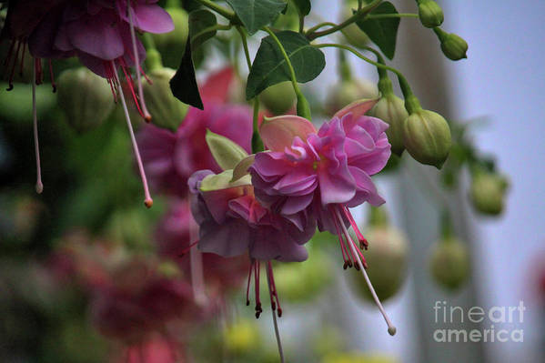 Spring Art Print featuring the photograph Incredible Fuschia by Laura Birr Brown