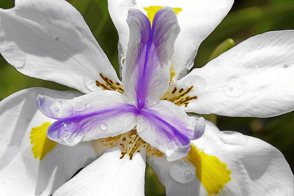 Flower Art Print featuring the photograph Iris An Explosion Of Friendly Colors by Christine Till