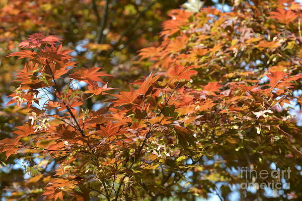 Japanese Maple Beauty Art Print featuring the photograph Japanese Maple Beauty by Maria Urso