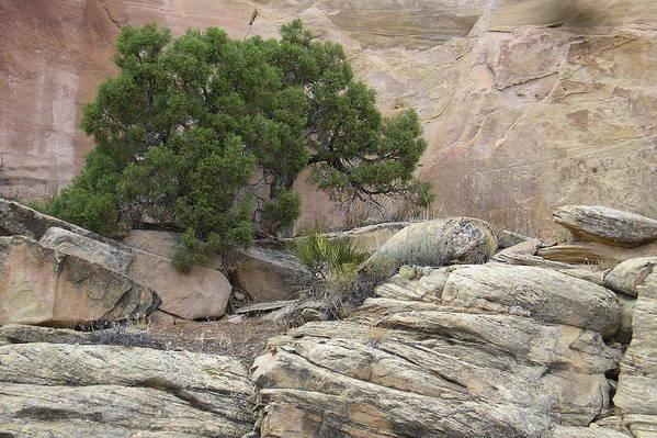 Tree Art Print featuring the photograph Juniper by Ellen Leigh
