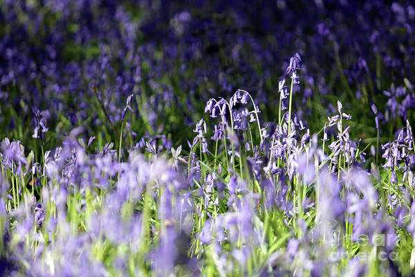 Just Bluebells English Surrey Flowers Bluebell English Bluebells Wood Effingham Surrey Uk Countryside Landscape Blue Flowers Traditional Scene Woodland Bluebell Forest Picturesque Art Print featuring the photograph Just Bluebells by Julia Gavin