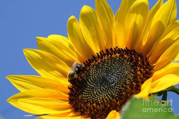Sunflower Art Print featuring the photograph keep facing the Son by Debra Straub
