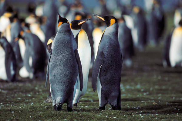 Penguin Art Print featuring the photograph King Penguins Volunteer Point Falkland Islands by Brian Lockett
