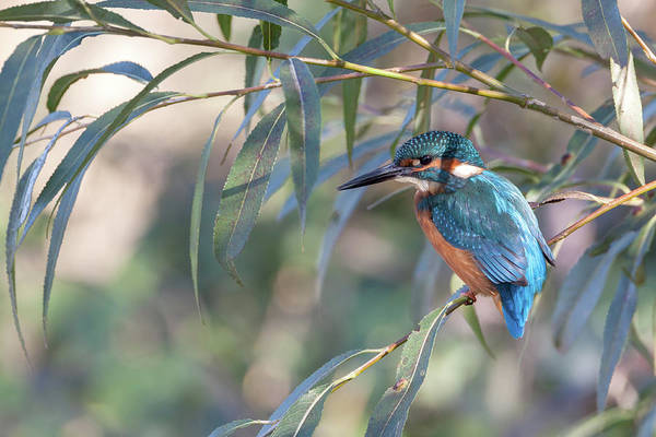 Kingfisher Art Print featuring the photograph Kingfisher In Willow by Peter Walkden