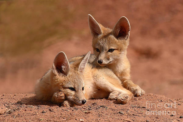 Fox Art Print featuring the photograph Kit Fox Pups On A Lazy Day by Max Allen