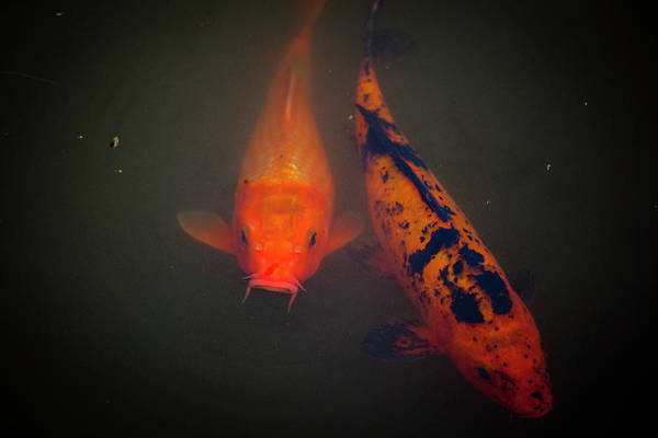 Fish Art Print featuring the photograph Koi by Christina Durity