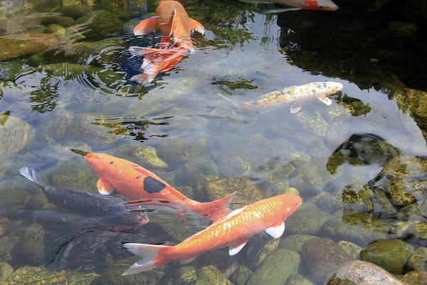 Pond Art Print featuring the photograph Koi In Pond II by Mary Haber