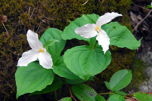 Large Flower Trillium Art Print featuring the photograph Large Flower Trillium Pair by Alan Lenk