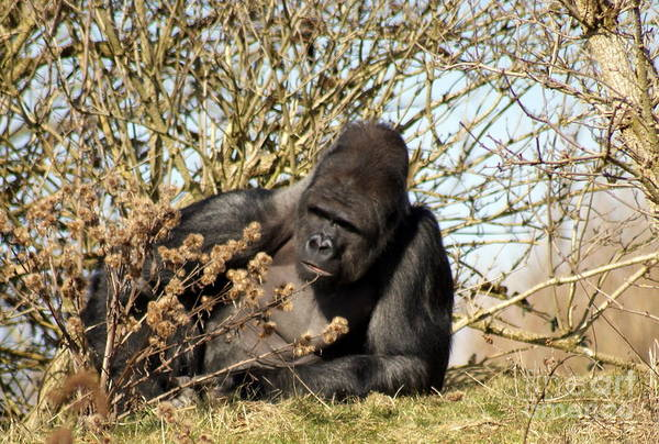 Gorilla Art Print featuring the photograph Lazing On A Sunny Afternoon by Jacqui Kilcoyne