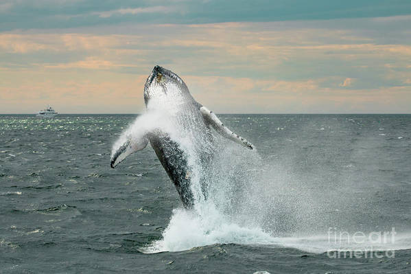 Usa Art Print featuring the photograph Leaping Whale by Paul Hennell