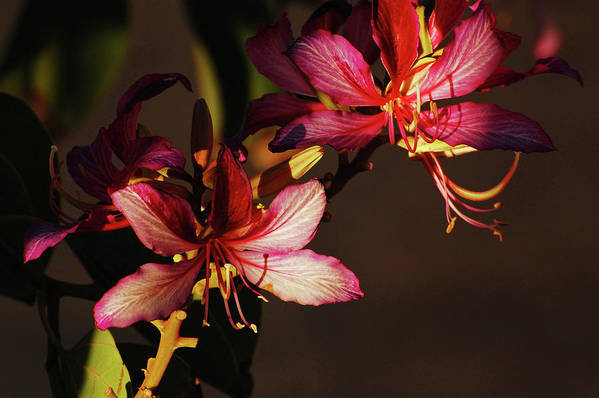 Orchid Tree Art Print featuring the photograph Light And Shadow Play by Jean Booth