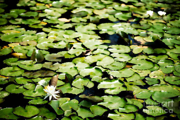 Outdoors Art Print featuring the photograph Lilies Of The Water Viii by Irene Abdou
