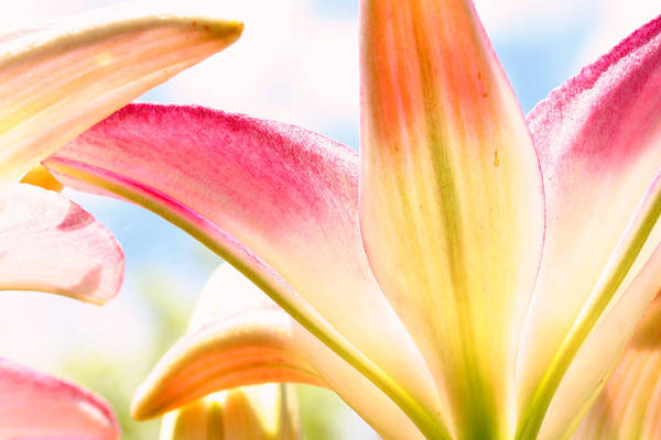 Flower Art Print featuring the photograph Lily And Clouds by Steve Augustin