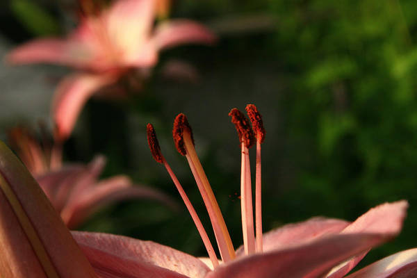 Lily Art Print featuring the photograph Lily Closeup by Roger Soule