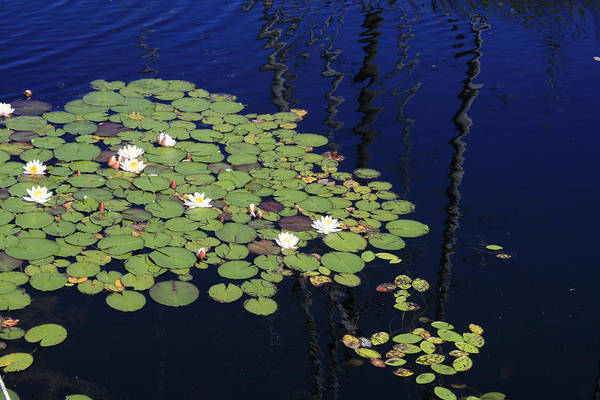 Lilypads Art Print featuring the photograph Lily Worlds One by Alan Rutherford