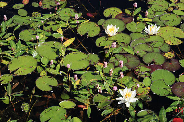 Lilypads Art Print featuring the photograph Lily Worlds Two by Alan Rutherford