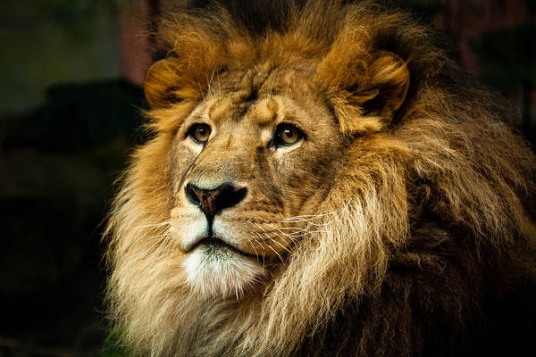 Horizontal Art Print featuring the photograph Lion by Ann Clarke Images