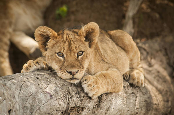 Lion Cub Resting On Tree Branch Art Print By Sharon Haeger
