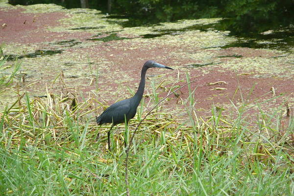 Nature Art Print featuring the photograph Little Blue Heron by Kathy Schumann