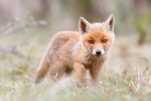 Fox Art Print featuring the photograph Little Fox Kit, Big World by Roeselien Raimond