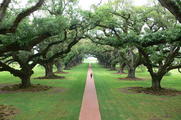 Trees Art Print featuring the photograph Live Oaks by Francine Gourguechon