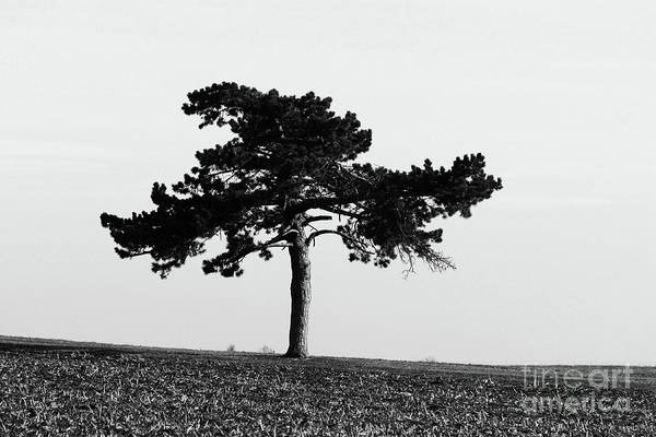 Abstract Art Print featuring the photograph Lonely Pine by Alan Look