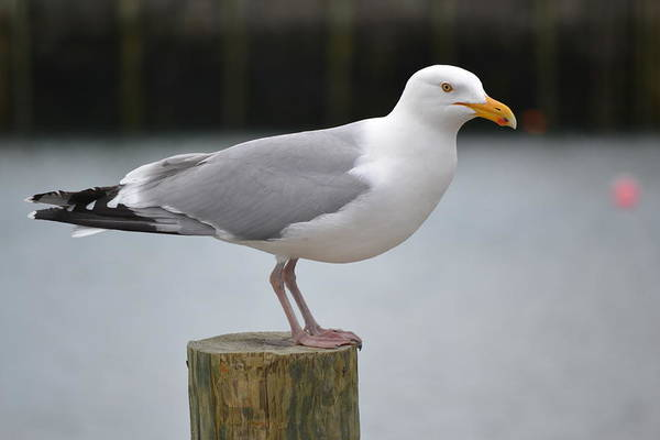 Seagull Art Print featuring the photograph Loner by Beverly Webster