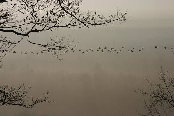Flying Geese Art Print featuring the photograph Long Flight by Kevin Dunham