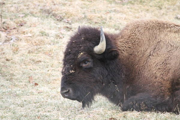 Buffalo Art Print featuring the photograph Looking At You by Ronald Fleischer