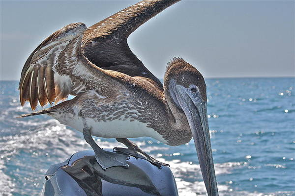 Pelican Art Print featuring the photograph Looking For Leftovers by Diana Hatcher