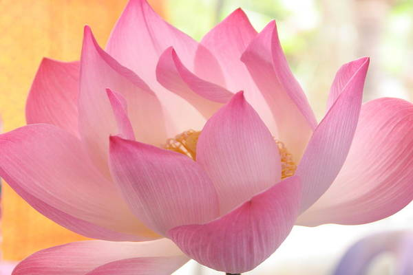 Pink Yellow Art Print featuring the photograph Lotus by Beverly Hutchman