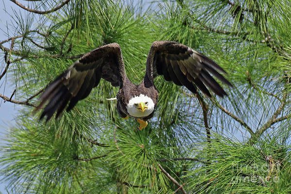 Eagles Art Print featuring the photograph M15 Great Take Off by Liz Grindstaff