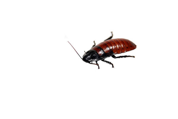 Antenna Art Print featuring the photograph Madagascar Hissing Cockroach by Michael Ledray