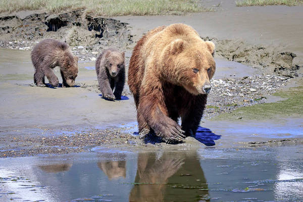 Bear Art Print featuring the photograph Mama Bear Leads The Way by Jack Bell
