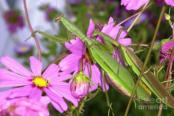 Preying Praying Mantis Cosmos Mating Mates Flower Insect Bug Nature Green Pink Art Print featuring the photograph Mantis Mates In The Cosmos by Sam Klingensmith