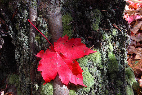 Red Maple Art Print featuring the photograph Maple Leaf Still Life by Charles Warren