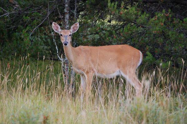 Deer Art Print featuring the photograph Michigan Whitetail Doe by Jennifer Englehardt