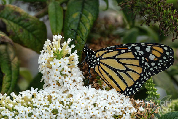 Monarch Butterfly Art Print featuring the photograph Monarch And The Butterfly Bush by Dylan Brett